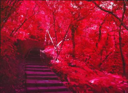 Crimson woods - Kodak Aerochrome III Infrared Film 1443 shot at ISO200