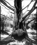 Don Kittle - Paper negative tree - Ilford Multigrade IV RC Deluxe MGD paper