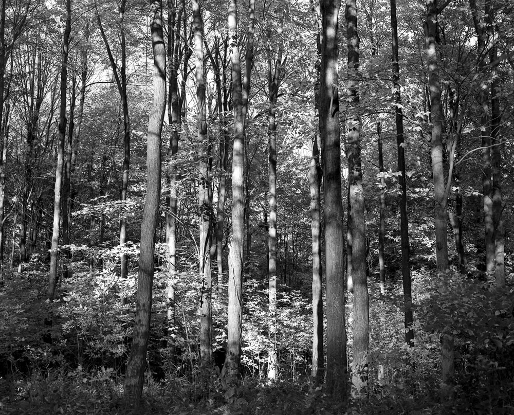 Maple Stand - The entrance to a dense hardwood forest in fading fall light. Mamiya RB67. ILFORD FP4+