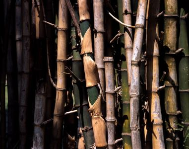 Bamboo grove #01 - Shot on Fuji Provia 100F (RDP III) at EI 100. Color reversal (slide) film at in 4x5 format. AEROgraphic / Kodak Anastigmat 161mm f/4.5.