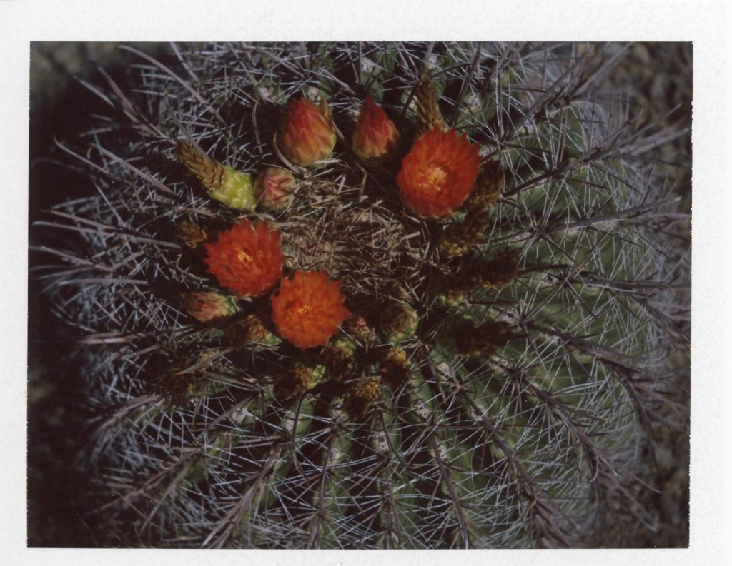 Tunas on a cactus, Fujifilm FP-100c with #583 Close-Up Kit