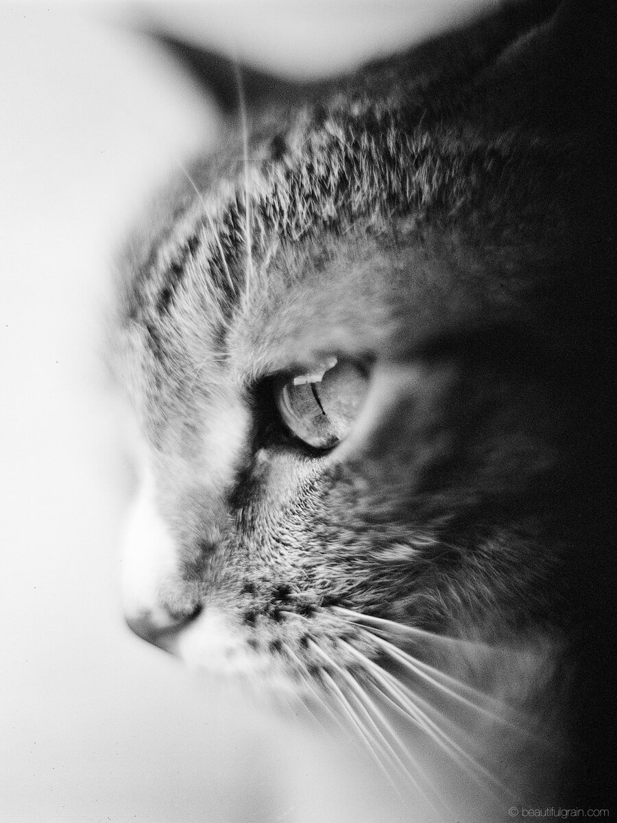 5 Frames... Of Cats that will (apparently) save film forever (Norita 66, Noritar 80mm F2, Ilford XP2) - by Aivaras Sidla