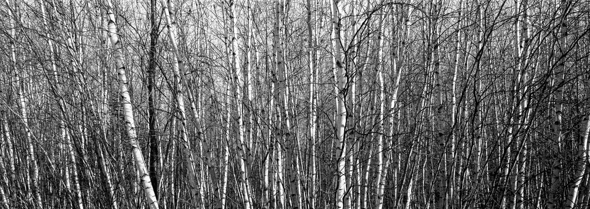 Birch trees - PressPan
