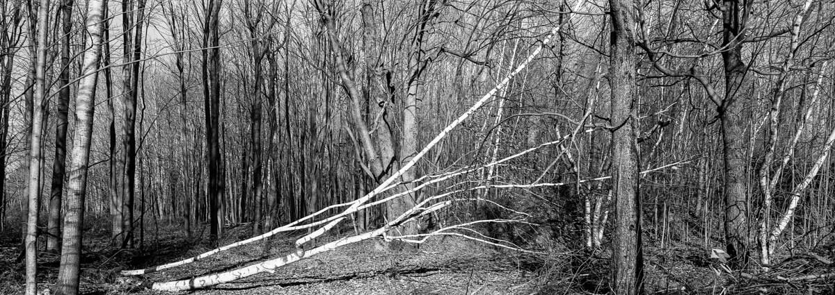Fallen birch tree - PressPan