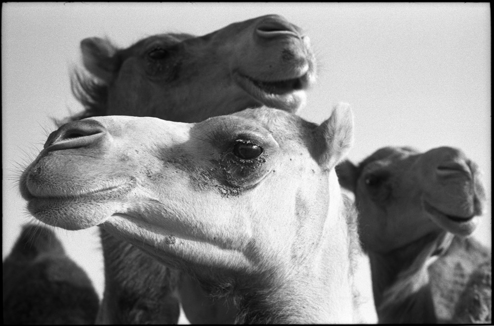 5 Frames... Of Camels on expired Fujifilm NEOPAN ACROS 100 (35mm Format / EI 100 / Leica M4 + Summicron 5cm f/2) - by Simón Ducos
