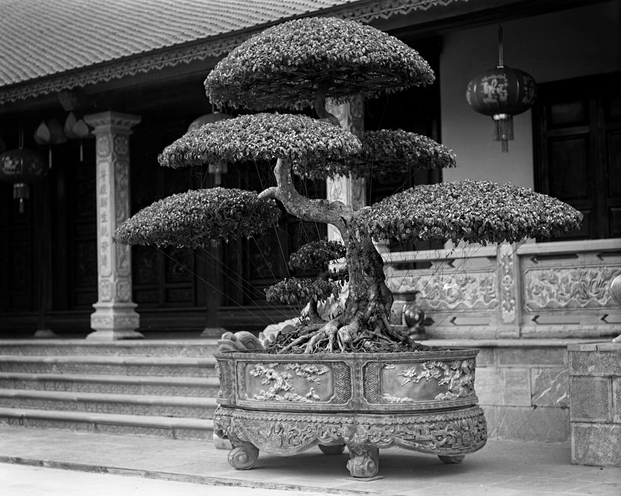 Sculptured Bush 1 - 5 Frames... Around Hai Phong, Vietnam on my 1920 Graflex RB Tele 4x5 and ILFORD HP5 PLUS (4x5 Format / EI 400 / Voigtlander Heliar 210mm f/4.5 c.1920 lens) - by Stuart Kinkade